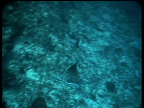 wa spotted eagle rays swimming along seabed, high angle, maratua, borneo, celebes sea, indonesia - tierfarbe stock-videos und b-roll-filmmaterial