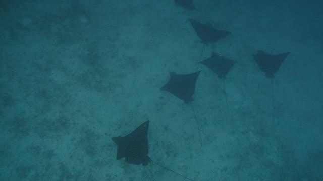 spotted eagle rays - medium group of animals stock videos & royalty-free footage