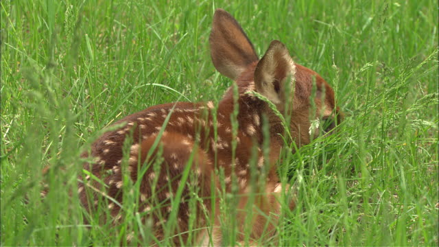 a spotted fawn rests in the grass. - fawn stock videos & royalty-free footage