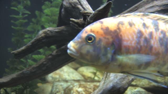 spotted fish 1 - hd 30f - liten djurflock bildbanksvideor och videomaterial från bakom kulisserna