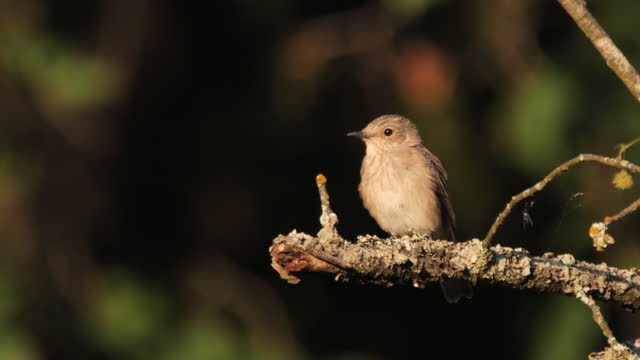 spotted flycatcher (muscicapa striata) juvenile, russia - small stock videos & royalty-free footage