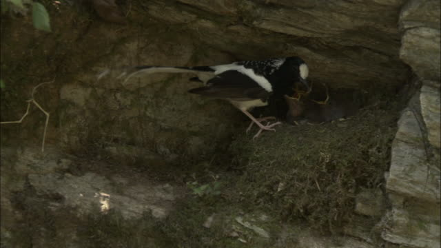 spotted forktail (enicurus maculatus) feeds chicks in nest, chopta, india available in hd. - nest stock-videos und b-roll-filmmaterial