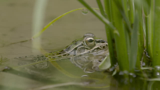 spotted frog in paddy field, japan. - takashima shiga stock videos & royalty-free footage