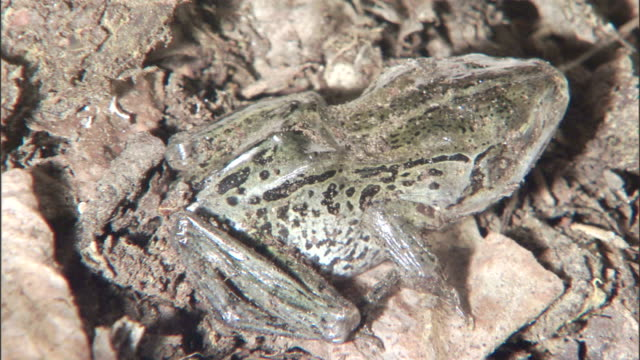 a spotted frog thaws as it rests on leaf litter. - frozen stock videos & royalty-free footage