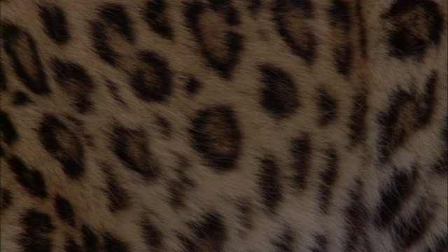 spotted fur of amur leopard, russia - animal hair video stock e b–roll