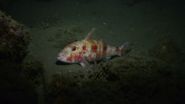 Spotted Goatfish.