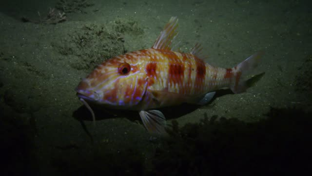 spotted goatfish. - triglia tropicale video stock e b–roll