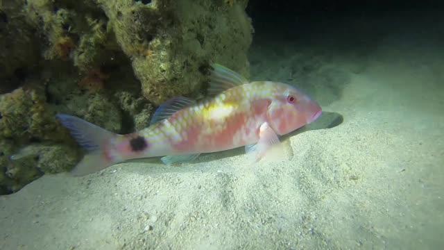 spotted goatfish - goatfish stock videos & royalty-free footage