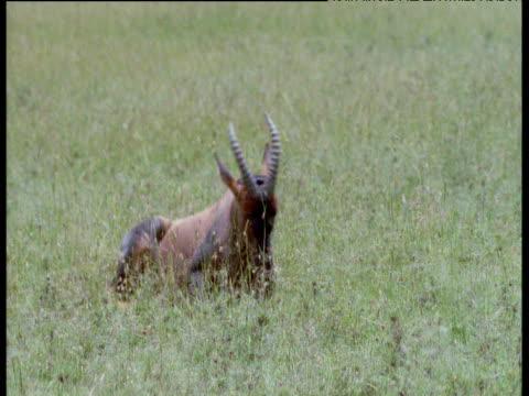 vídeos de stock, filmes e b-roll de spotted hyaena dashes in to grab resting topi but fails as it jumps up and flees, masai mara - animais caçando