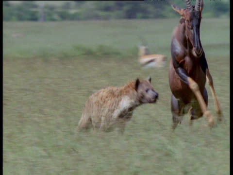 spotted hyaena dashes in to grab resting topi but fails as topi sprints off, masai mara - runaway stock videos & royalty-free footage