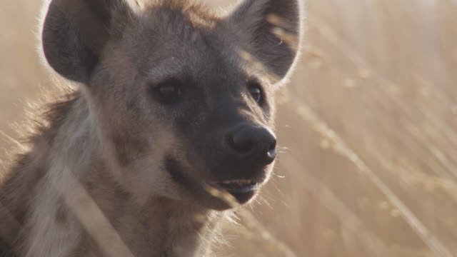 spotted hyaena (crocuta crocuta) looks around and yawns on savannah, zambia - standing stock videos & royalty-free footage