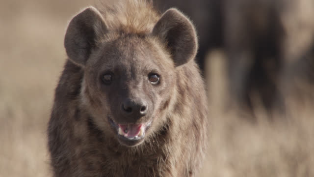 spotted hyaena (crocuta crocuta) looks around on savannah, zambia - medium shot stock videos & royalty-free footage