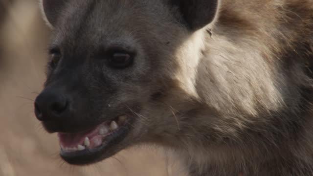 vídeos de stock, filmes e b-roll de spotted hyaena (crocuta crocuta) looks around on savannah, zambia - cabeça