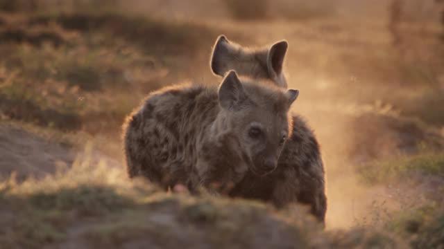 vídeos de stock e filmes b-roll de spotted hyaena (crocuta crocuta) pups playfight at sunset, zambia - criação animal
