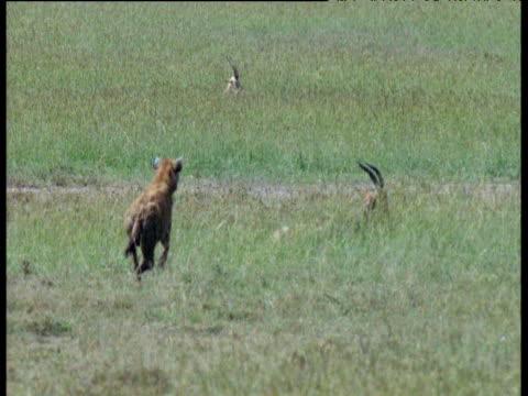 spotted hyaena runs and attacks resting topi antelope, topi jumps and escapes, masai mara - runaway stock videos & royalty-free footage