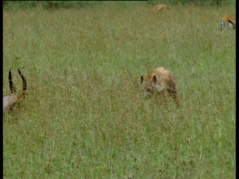 spotted hyaena runs and attacks resting topi antelope, topi kicks hyaena and escapes, masai mara - 虐待点の映像素材/bロール