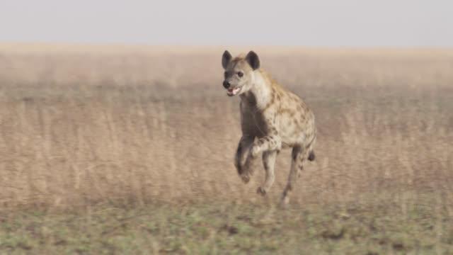 Spotted hyaena (Crocuta crocuta) runs on savannah, Zambia