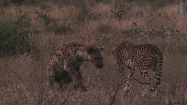 spotted hyaena scares away cheetah at sunrise, zimbabwe - flüchten stock-videos und b-roll-filmmaterial