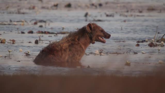 stockvideo's en b-roll-footage met spotted hyaena (crocuta crocuta) sits in lake, zambia - gezichtsuitdrukking
