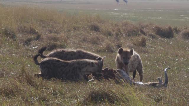 Spotted hyaenas (Crocuta crocuta) feed on lechwe antelope carcass, Zambia