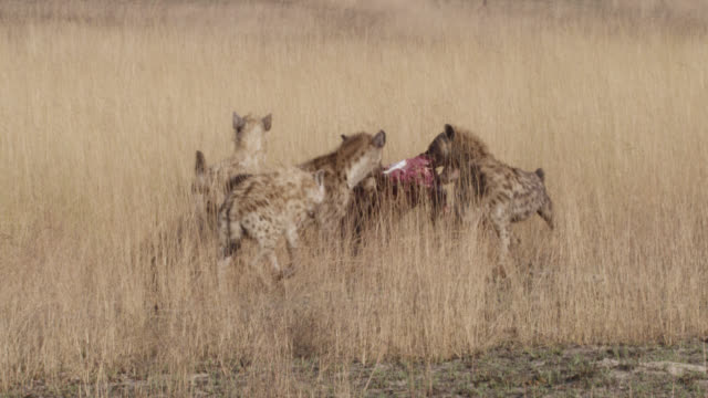 spotted hyaenas (crocuta crocuta) feed on wildebeest carcass, zambia - group of animals stock videos & royalty-free footage