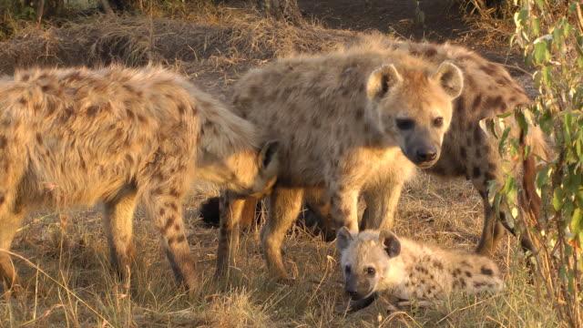 gepunktete hyaenas - raubtierjunges stock-videos und b-roll-filmmaterial
