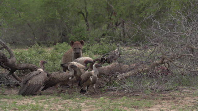 Spotted hyena and vultures fighting over right to feed on kudu carcass, Kruger National Park, South Africa