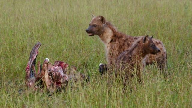 Spotted Hyena & Buffalo Kill, Maasai Mara, Kenya, Africa