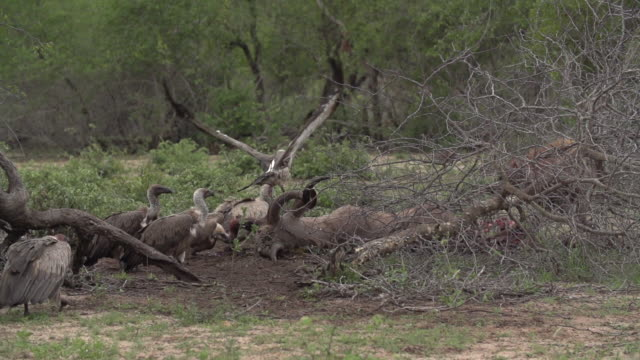 Spotted hyena chases a wake of vultures from a kudu carcass, Kruger National Park, South Africa