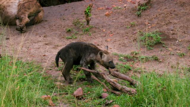 vídeos y material grabado en eventos de stock de spotted hyena cub pulling stick, masai mara, kenya, africa - palo parte de planta