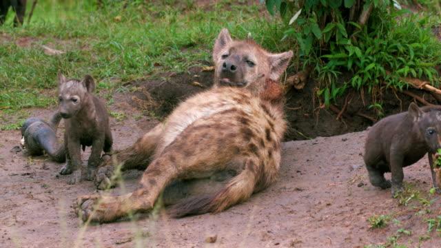 spotted hyena & cubs, masai mara, kenya, africa - raubtierjunges stock-videos und b-roll-filmmaterial