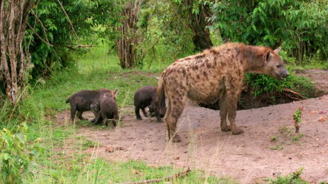 vídeos de stock e filmes b-roll de spotted hyena & cubs, masai mara, kenya, africa - criação animal