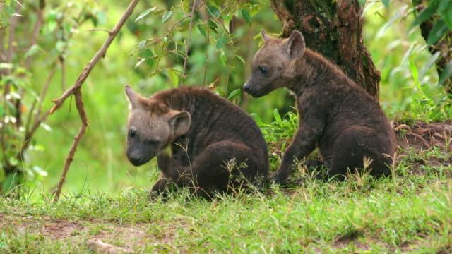 spotted hyena cubs playing, masai mara, kenya, africa - raubtierjunges stock-videos und b-roll-filmmaterial