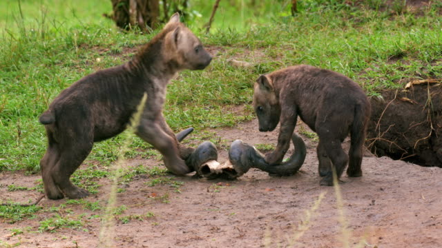 spotted hyena cubs playing with wildebeest horn, masai mara, kenya, africa - raubtier stock-videos und b-roll-filmmaterial