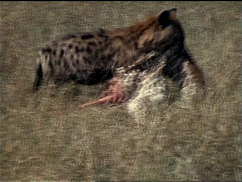 vidéos et rushes de a spotted hyena drags a masai giraffe carcass through the grass. - mammifère ongulé