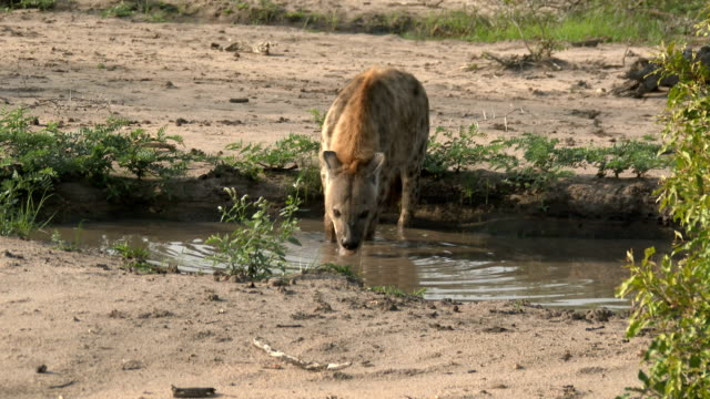 spotted hyena drinks from a pan of water and then looks up and around, kruger national park, south africa - mpumalanga province stock videos and b-roll footage