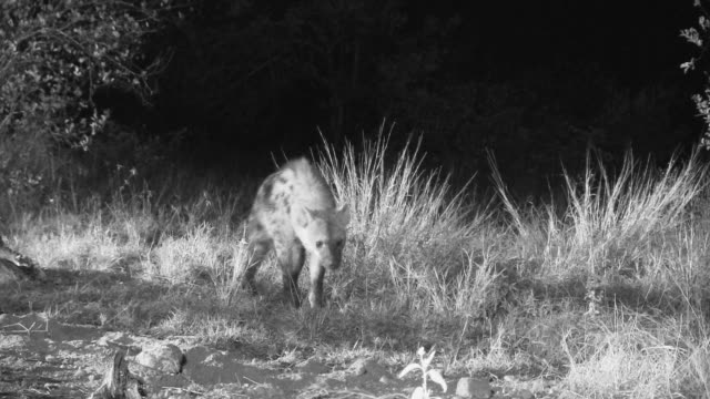spotted hyena foraging at night. - foraging stock videos and b-roll footage