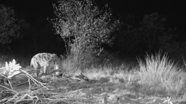 spotted hyena foraging at night. - foraging stock videos & royalty-free footage