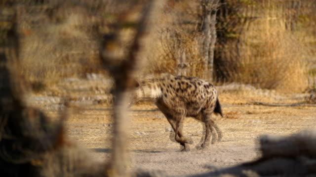 WS MS PAN Spotted hyena in savannah / Namibia