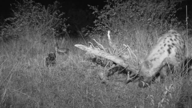 Spotted hyena is followed around by honey badgers as it steals their food.