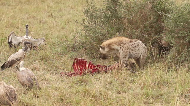 MS TS Spotted hyena protect hunt from african white backed vultures / National Park, Africa, Kenya