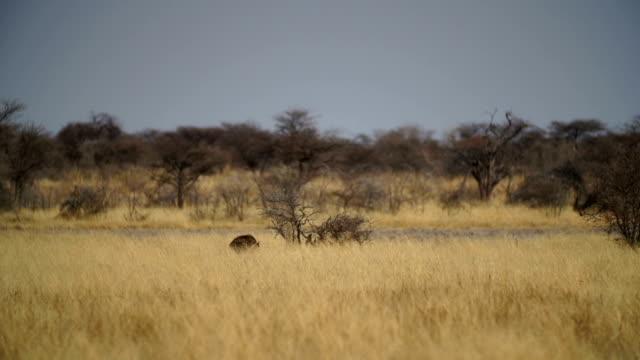 WS PAN Spotted hyena walking in savannah / Namibia