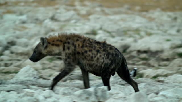 MS TS Spotted hyena walking in savannah / Namibia