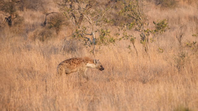 spotted hyena walking in the savanna - south africa stock videos & royalty-free footage
