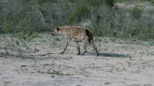 Spotted hyena walks across dry bushveld ground as camera tracks its movements and zooms in, Kruger National Park, South Africa