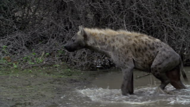 spotted hyena walks out of pan and shakes off water, kruger national park, south africa - mpumalanga province stock videos and b-roll footage