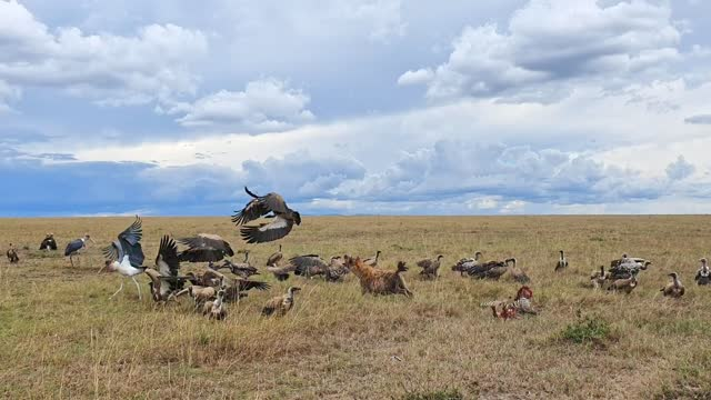 spotted hyenas eat a carcass vultures waiting nearby - medium group of animals stock videos & royalty-free footage