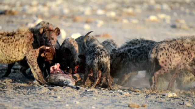 spotted hyenas feeding - totschlag stock-videos und b-roll-filmmaterial