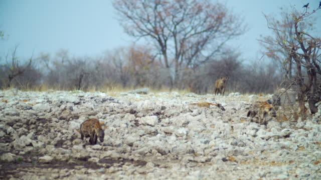 vídeos y material grabado en eventos de stock de ws ts spotted hyenas walking in savannah / etosha national park, namibia - cuatro animales