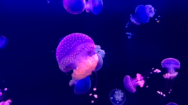 spotted jellyfish - undersea stock videos & royalty-free footage